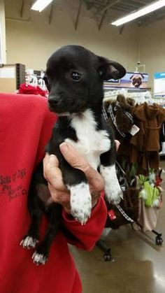 Meet Jack, a Petfinder adoptable Chihuahua Dog   Fresno, CA   CHECK OUT MY SIBLINGS: Teal (f), Manny (m) and Mo (m)!If you are interested in adopting one of our...