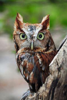 Photo Screech owl by Andrea Everhard on Owl Photos, Owl Pictures, Beautiful Owl, Animals Beautiful, Baby Owls, Cute Baby Animals, Owl Bird, Pet Birds, Funny Bird