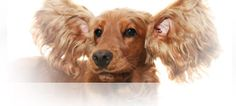 Dog ear infections need to be treated locally, but there are ways to naturally prevent them...