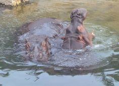 Hippopotamus, Pairi Daiza, Belgium,  A. Kuckartz 22-05-2017 #hippo #hippopotamus