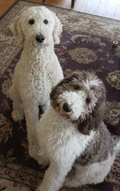 Oreo: A year in the life of a Parti poodle #poodle