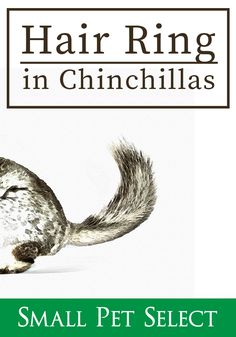 Chinchillas, Hair Rings, The Selection, Pets, Chinchilla, Animals And Pets