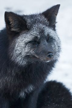 Silver fox in Mount Rainier National Park, Washington #Vulpes_vulpes  #mytumblr