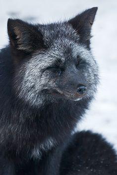 Silber Fuchs -unglaublich das manche Leute sich einen Pelz daraus machen lassen