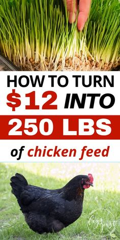 Are you looking to save money on chicken feed? Want to feed you chickens less grain and be more self sufficient? Check out my DIY fodder system and feed your chickens for pennies a day! A great alternative to bagged chicken feed for both layer and meat c Raising Backyard Chickens, Keeping Chickens, Backyard Farming, Pet Chickens, Plants For Chickens, Treats For Chickens, What To Feed Chickens, Raising Meat Chickens, Raising Quail