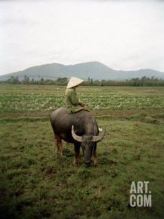 Farmer Sitting on His Water Buffalo in a Farm in Vietnam Photographic Print by xPacifica at Art.com