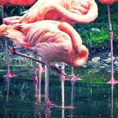 #nature #wildlife #flamingos #birds #vibrant #colours Photo by @jbleakley2 on Instagram