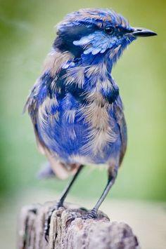 beautiful blue wren