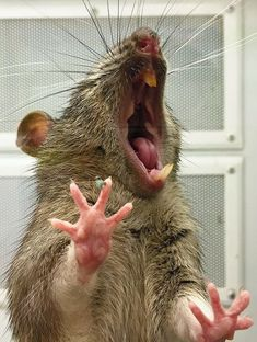 If You're Tired, Try Not To Look At These Yawning Animals As It Is Contagious - World's largest collection of cat memes and other animals Hamsters, Rodents, Funny Rats, Cute Rats, Animals And Pets, Cute Animals, Tired Animals, Animals Beautiful, Funny Animals