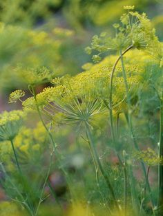 Plant dill in your perrenial butterfly bes. Cool texture, reseeds itself and is a host plant for swallowtail. Much nicer than fennel which will kill things around it. Carrots and parsley are also a plus.