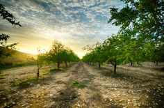 Almond tree grove at sunset by Yanniv Ovadia on 500px