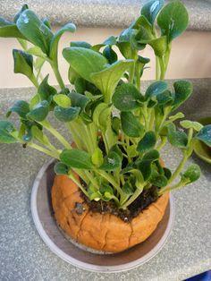Growing pumpkin sprouts inside the pumpkin-