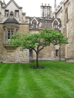 "Newton's apple tree, Trinity College, University of Cambridge, Cambridgeshire, England, UK. Apple tree sitting in the garden outside Sir Isaac Newton's apartment at Trinity College, Cambridge, England. Grown from a graft of ""the apple tree"" reputed to have inspired Newton's theory of gravitation."