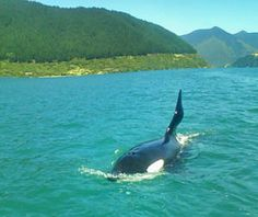 Google Image Result for http://www.crailbaycottage.co.nz/images/orca.jpg