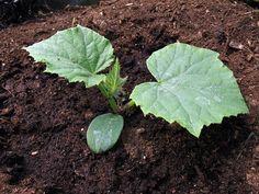 Avocado, Fruit, Gardens, Lawyer, Outdoor Gardens, Garden, House Gardens