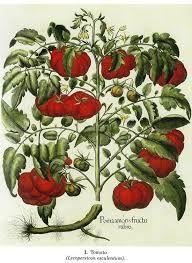 Kuvahaun tulos haulle botanical drawings