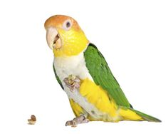 A #Caique enjoying food.