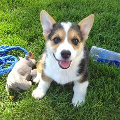 My happy corgi puppy