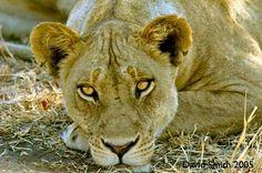 Robin Pope Safaris -- Big 5 Lion Sighting