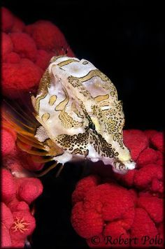Grunt sculpin-my favorite fish. by: Robert Polo-Pacific Canada