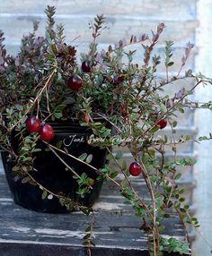 クランベリー 和名『つるこけもも』 | Flower Species | | Junk sweet Garden tef*tef*