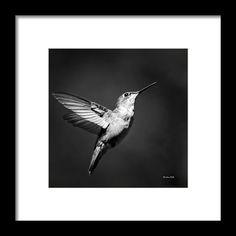 Hummingbird Framed Print featuring the photograph Hummingbird Flight Bw Square by Christina Rollo