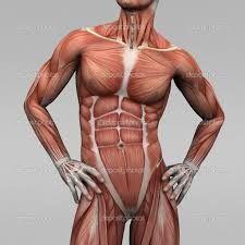 muscle anatomy - Google Search
