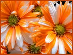 Orange and White Holland Daisy