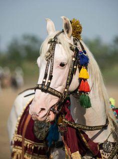 stallion SHAHTAJ Owner: Shahbaz Qamar sb ©em-ess-aar photography