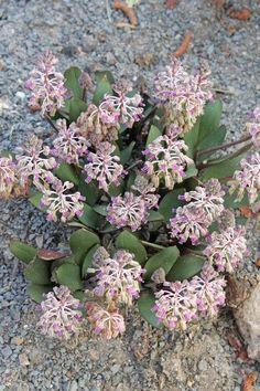 Ledebouria ovalifolia Dawie Human