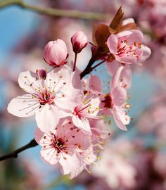 flowering plum tree. Beautiful