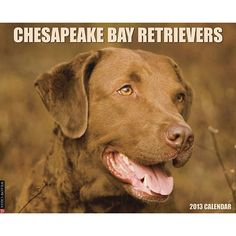 "Chesapeake Bay Retrievers Wall Calendar: ""Chessies"" are famed for their love of water and retrieving. They are powerful and brave dogs, yet obedient, loveable and obedient.  $13.99  http://calendars.com/Chesapeake-Bay-Retrievers/Chesapeake-Bay-Retrievers-2013-Wall-Calendar/prod201300002980/?categoryId=cat10071=cat10071#"