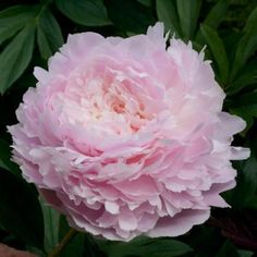 'Pillow Talk' peony - 💕this is one of my top loved flowers! Peony Rose, Peony Flower, Flowers Perennials, Planting Flowers, Paeonia Lactiflora, Rock Garden Plants, Peonies Garden, Flower Fashion, Pink Peonies