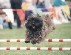 Cairn Terriers are very good at agility! From my own experience, make training fun, and you and your dog could get the competition bug and soon become performance winners. Terrier Breeds, Terrier Dogs, Cairn Terriers, Westies, Animals And Pets, Cute Animals, Cute Dog Pictures, West Highland Terrier, Dog Agility