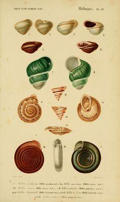 Snails  Dictionnaire universel d'histoire naturelle. v. 3 1849 - Atlas (Zoologie-Botanique)  Paris