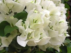 I usually prefer not to pin pics of solely flowers, but in this case, I will because its the white variety and you seldom see it anywhere! I am trying to cultivate a white bouganville in my house...not easy!
