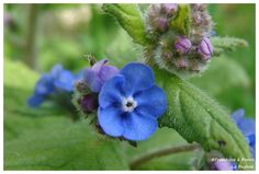 Buglose - La fleur - Framboise à Pornic
