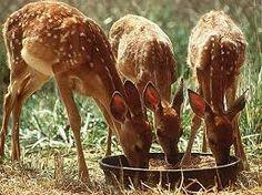 Resultado de imagen para bambis