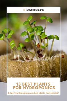13 Best Plants for Hydroponics | You'll be glad to know most of these plants are essential in our everyday lives. Plus, they are all nutritious and can be used in any home-cooked meals.