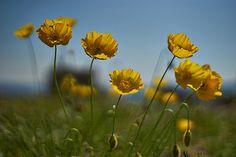 Poppies | por D. P.