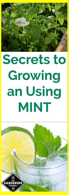 Mint can take over your garden but it also adds so much flavor in the kitchen. Learn tips and tricks for planting and caring for mint indoors and out. Vertical Herb Garden, Hydroponics Diy, Growing, Herbs, Herb Garden, Gardening Tips, Types Of Herbs, Hydroponic Gardening, Mint Plants