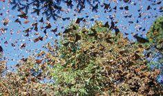 Migración de la mariposa monarca. Cada año en los Estados Unidos y México, las hermosas mariposas se reúnen en masa para su migración y nos dejan esta espectacular postal