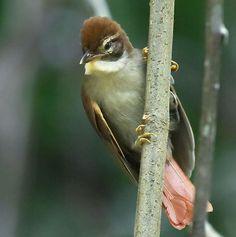 Barranqueiro-de-topete (Anabazenops dorsalis)
