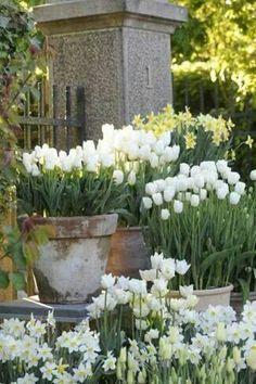Tulipes en pot, pas mal pour ne pas avoir à chercher les oignons...