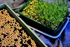 Det är ingen idé att odla lite ärtskott. Den som vill odla för att se nån slags skillnad i hushållet måste odla mycket. Och det är verkligen inte svårt.