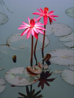 Pink water lilies by George Aronson on 500px