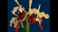"""Expertos en Costa Rica describieron una nueva variedad de la orquídea guaria turrialbeña (Cattleya dowiana) que puede competir por el título de """"la flor más bella del mundo"""""""