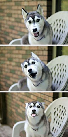 Husky Is Very Happy