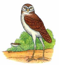 Cuban Giant Owl  IUCN Status : Extinct for 8,000 to 10,000 years  Location : Cuba  Size : Height up to 3.3ft (1m), Weight up to 20lbs (9kg)