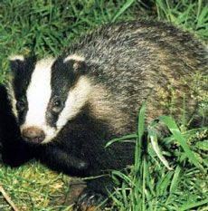 BVA calls for change to badger culling method and wider roll-out in England